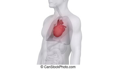 anatomie, mâle, coeur, balayage