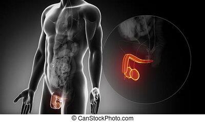 anatomie, mâle, organes reproducteurs