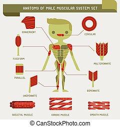 anatomie, mâle, système, musculaire