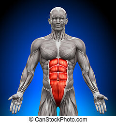 anatomie, muscles, -, abs