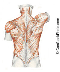 anatomie, muscles, -, dos, humain