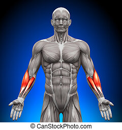 anatomie, muscles, -, forearms