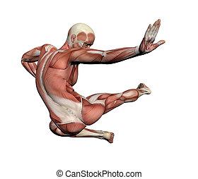 anatomie, -, muscles, mâle, humain