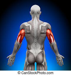 anatomie, muscles, -, triceps