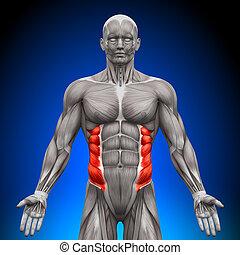 anatomie, oblique, muscles, -, externe
