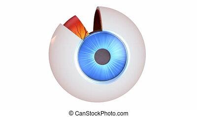 anatomie, oeil, -, intérieur, structure
