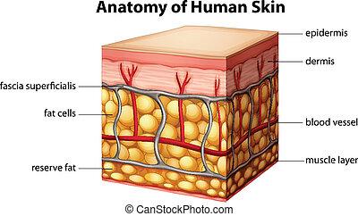 anatomie, peau humaine
