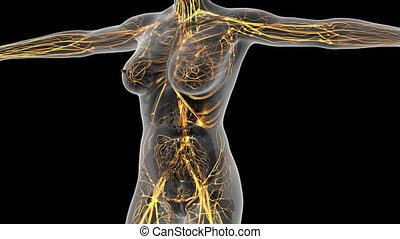 anatomie, science, corps, humain