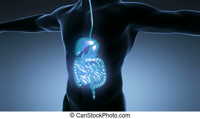 anatomie, science, corps mâle