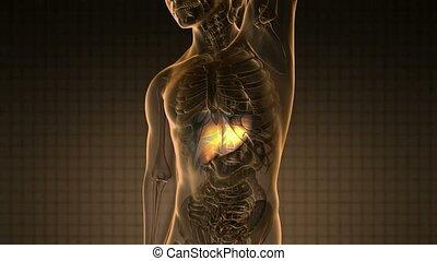 anatomie, science, foie, humain, balayage