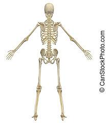 anatomie, squelette humain, vue postérieure