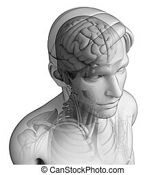 anatomie, tête, humain