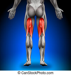 anatomie, tendons jarret, muscles, -