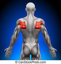 anatomie, teres, muscles, -