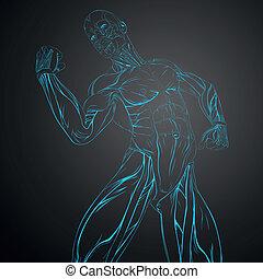 anatomie, vecteur, muscle humain