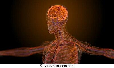 anatomique, monde médical, mâle, balayage