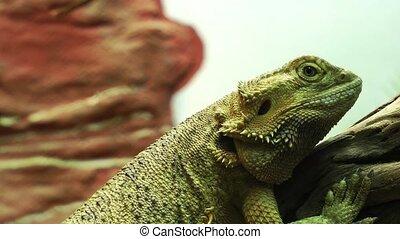 animal, iguane