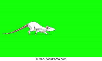 animation, cafards, rat, chroma, blanc, clã©