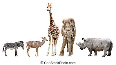 animaux, africaine