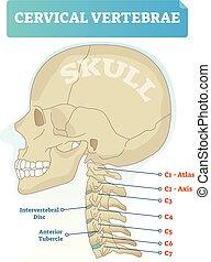 antérieur, c3, crâne, intervertébral, plan, tubercle, diagram., vecteur, c6, c4, vertebra., disque, cervical, c2, axe, vertèbres, c1, c5, c7, atlas, illustration.