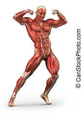 antérieur, système, musculaire, position, body-builder, vue, homme