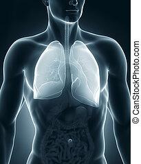 antérieur, système respiratoire, anatomie, mâle, vue