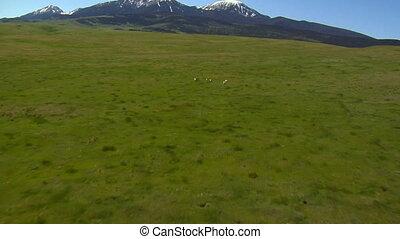 antilope, aérien, herbeux, courant, colline, coup