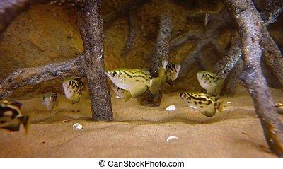 aquarium., école, vidéo, archerfish, public
