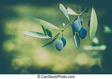 arbre, branche olive