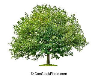 arbre, chêne blanc, isolé, fond