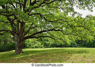 arbre, chêne, parc