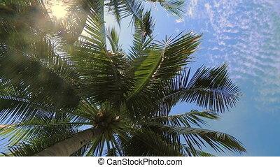 arbre, ciel bleu, sous, noix coco