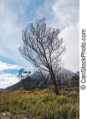 arbre diverge, mort, volcan