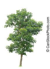 arbre, exotique, isolé, fond, blanc