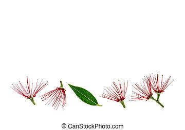 arbre, feuilles, isolé, fond blanc, fleurs, pohutukawa, rouges