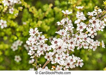 arbre, fleur, manuka, fond, fleurs, brouillé, sauvage