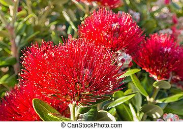 arbre, fleur, pohutukawa, flowerheads