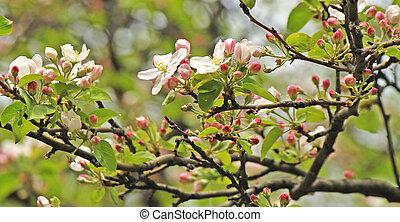 arbre, fleur, pomme