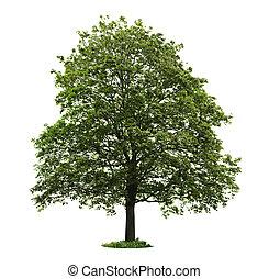 arbre, isolé, érable, mûrir