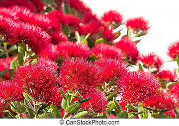 arbre, isolé, pohutukawa, fond, fleurs blanches, fleur, rouges