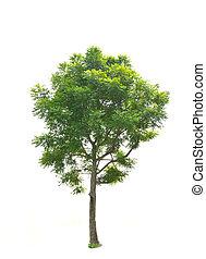 arbre, isolé, vert, fond, blanc