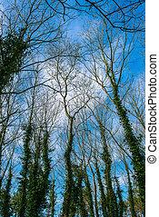 arbre, lierre, couvert
