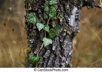 arbre, lierre