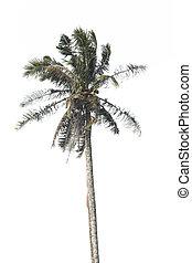 arbre noix coco, isolé, arrière-plan., paume, blanc