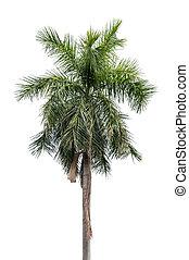 arbre noix coco, isolé, paume, fond, blanc