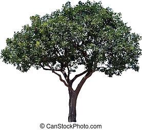 arbre., olive