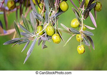 arbre, olive, fruit