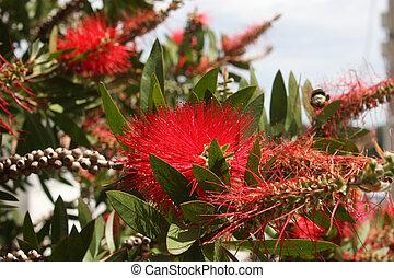 arbre, pohutukawa, fleur