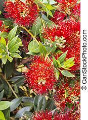 arbre, pohutukawa, zélande, clair, fleurs, nouveau, fleur, rouges
