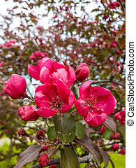 arbre, pomme rouge, fleurs ressort